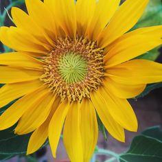 Fuente pipas sanas #pipas #flowers #girasol #huertourbano #huertourbanopiluki #petalos #loveflowers