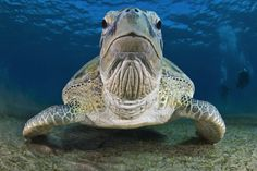 """nubbsgalore: """"the endangered loggerhead and green sea turtle, the critically endangered hawksbill turtle and the vulnerable pacific ridley. (click pic for species and credit x, x, x, x, x, x, x, x) """""""