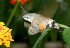 Macroglossum stellatarum (Linnaeus, 1758) - le farfalle della Puglia
