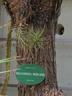tillandsia bergeri. http://www.elhogarnatural.com/reportajes/Tillandsia.htm