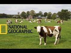 Life of Cows / FARM (National Geographic)