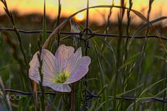 A lone Pink Evening Primrose (Oenothera speciosa) is backlit by the last light of the setting sun, along the tall fence of an exotic game ranch, Milam County, Texas. __________________________________________Gary Holmes, photographer: I am an opportunist photographer of nature, landscapes, abstract, and other found objects of interest. I prefer to capture the spontaneity of things and events as they are occurring, and rarely photograph staged subjects other than portraits. Although I have...