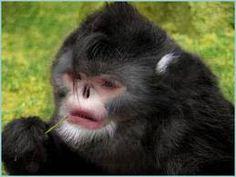 Mono chato o estornudador.