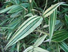 Hibanobambusa tranquillans Shiroshima is een prima bodembedekker en heeft mooi gestreept groen/wit blad