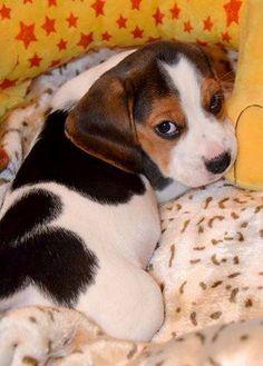 Gorgeous Tri-Colored Beagle Puppy