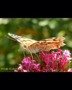 @florestaqueen - #SensationalButterflies #Painted Lady Butterfly #Torquay #Devon