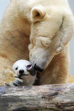 Mama polar bear and baby, mama y beb oso polar Mundo Animal, My Animal, Cute Baby Animals, Animals And Pets, Wild Animals, Nature Animals, Baby Pandas, Baby Polar Bears, Panda Bears