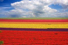 Champs de tulipes - Les Pays Bas, pays-jardins !