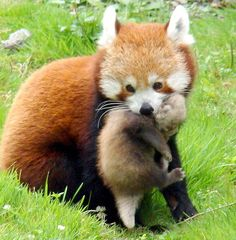 red panda mom and baby <3