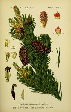 img / drawings trees shrubs / trees and shrubs 0107 drawings pine mountains has hooks - pinus montana uncinata.jpg