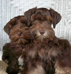 Ranked as one of the most popular dog breeds in the world, the Miniature Schnauzer is a cute little square faced furry coat. Schnauzer Mix, Schnauzers, Miniature Schnauzer Puppies, Giant Schnauzer, Cute Puppies, Cute Dogs, Dogs And Puppies, Doggies, Love Pet