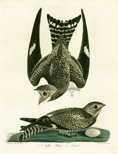 Alexander Wilson Bird Prints American Ornithology
