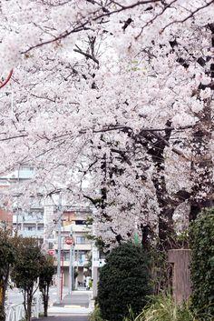 komuragaeriさんの作品「桜並木」(ID:6190789)のページです。撮影機材やExif情報も掲載しています。