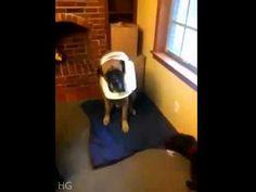 Caught Red-Handed ~ Dog Shaming shame - Mastiff