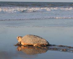 Sea turtles, sweet tea & Sullivan's Island are all things we love about the Lowcountry Sea Turtle Nest, Turtle Love, Sea Turtles, Charleston Beaches, Charleston Sc, Stuff To Do, Things To Do, Sullivans Island, Us Beaches