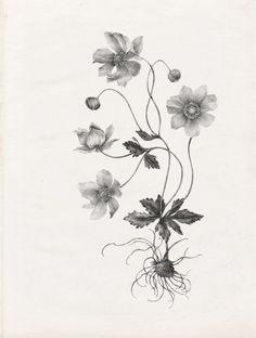Nadezda Fava | ERBARIO Anemone japonica