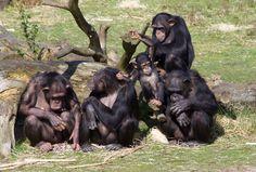 Deze chimpansees hebben een behoorlijk triest verleden, het zijn laboratorium dieren die nooit het daglicht hadden gezien en hun leefruimte bestond uit de box waar ze in zaten. Uiteindelijk waren ze niet meer nodig en heeft het Safaripark ze naar Nederland kunnen halen waar ze nu mogen blijven zolang ze leven. Ik weet dat er heel wat discussies zijn over dierentuinen en er gebeuren genoeg vreselijke dingen maar laat je hart ook open staan voor dit soort succesverhalen
