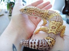 This is what my Mack snow albino leopard gecko will look like all grown up ❤
