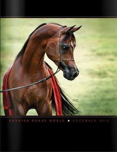The Sequel RCA (Thee Desperado x La Marsala) A majestic and awarded 2003 Bay Straight Egyptian Arabian Stallion. The Sequel is an Arabian Horse World Cover 2014, 2005 Egyptian Event Reserve Supreme Champion Stallion and December 2014 Arabian Horse World Cover Horse! #theedesperado