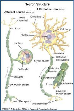FREE Toxicology Course on Neurotoxicity, Anatomy and Physiology of the Nervous System, Cells of the Nervous System by queen Brain Anatomy, Human Anatomy And Physiology, Medical Anatomy, Medical Terminology, Nursing Notes, Medical Information, Body Systems, Nursing Students, Life Science