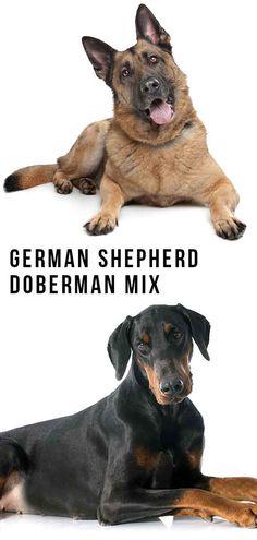 German Shepherd Doberman Mix – Great Guard Dog or Family Pet? Doberman Shepherd, Doberman Mix, German Shepherd Breeds, Best Mixed Breed Dogs, Dogs And Kids, Dogs And Puppies, Shepherd Mix Puppies, War Dogs, Purebred Dogs