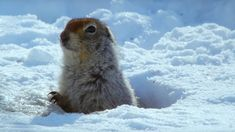 How an Arctic Squirrel Survives Winter - Wild Alaska - BBC