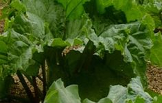 Tips for planting and growing rhubarb.