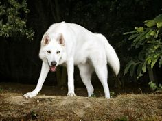White Wolf. OMG this looks like my white Shiba Inu,Tenshi!!! Shiba Inu DNA is the closest to wolves of all the dog breeds according to National Geographic