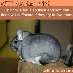 Chinchilla fur is so thick and soft, fleas will suffocate if they try to live there.