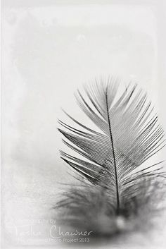 #twpp: simplicity - feather by Tasha Chawner, via Flickr | I've cheated this weekend and used a photo I took a couple of weeks back... still not feeling 100% well :-(