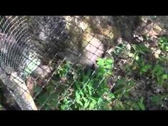 Japanese Quail in an Outdoor Colony Pen Setting Listen to what she says about summer and winter meat plan accordingly.