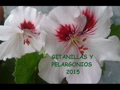 GITANILLAS Y PELARGONIOS 2015