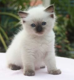 Unbelievably cute. Ragdoll Kitten. We now have one of our own that looks just like this!