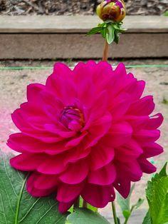 Parc Floral, Rose, Flowers, Plants, Pink, Plant, Roses, Royal Icing Flowers, Flower