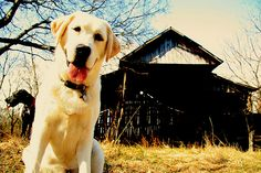 farm dogs. rustic barn. photography.