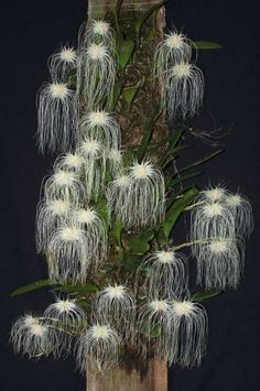 Bulbophyllum lobbii is a species of Bulbophyllum found in asia. Plant blooms in the summer with a single 10 cm wide flower. Flowers are fragrant.