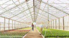 Busy Industrial Greenhouse Where Gardener and Farmers Work on Growing Beautiful Plants.
