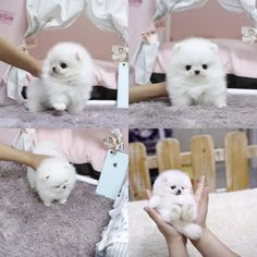 If you are a lover of small dogs, you need to see some of the world's smallest teacup dogs and puppies. They will melt your heart!