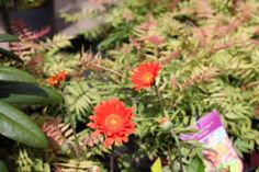 Garvinea 'Jilly' - Bright orange flowers from May - Oct. Ideal for borders and containers. Plant in a sunny position in free draining soil. Evergreen and frost hardy. Colorful Garden, Orange Flowers, Garden Furniture, Evergreen, Cork, Frost, Bright, Colour, Plants