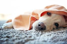 Pet owners in the market for flooring think that carpet is not an option for their homes and four-legged friends. We show you how to choose pet-safe carpet. Soft Flooring, Carpet Flooring, Flooring 101, Der Ludwig, Organic Dog Treats, Dog Bag, Best Carpet, Pet Safe, Carpet Colors