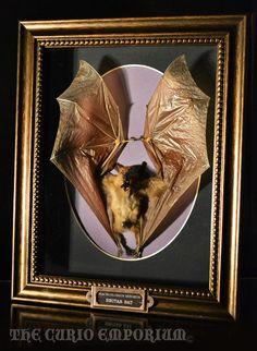 Taxidermy Gothic Screaming Bat Display Frame by TheCurioEmporium, $135.00