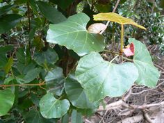 Rhoicissus | Description Rhoicissus tomentosa capensis creeper - Cape Town 1.JPG
