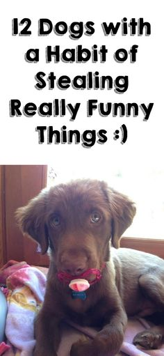 I don't care what they did, they're all adorable and I forgive them. Especially dog #1. http://theilovedogssite.com/12-dogs-with-a-habit-of-stealing-some-really-funny-things/