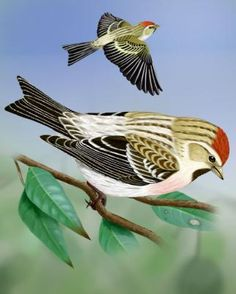 Hoary Redpoll: Small finch (exilipes), buff-gray, brown-streaked upper parts and brown-streaked white underparts washed pink. Head has red cap, black chin patch. Black wings with two white bars. Rump is pale gray or white with few or no streaks. Black tail is notched. Black legs and feet.