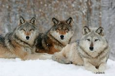 Love this winter scene. Wolf Pack - Photograph at BetterPhoto.com
