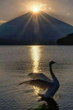 The sun overlaps the top of Mt. Fuji a swan came right in front at the Lake Yamanakako, Japan Beautiful Sunset, Beautiful Birds, Beautiful World, Beautiful Images, Nature Pictures, Cool Pictures, Cool Photos, Animal Photography, Nature Photography