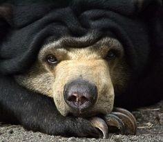 Sun bear, the best of all the bears.