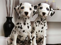 I really want a dalmatian!! So cute!