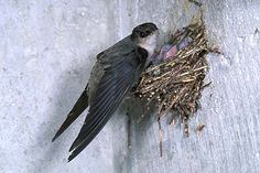 Chimney Swift (Chaetura pelagica)
