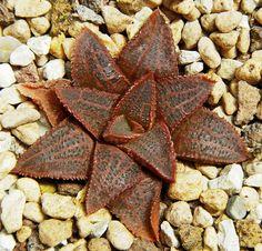 Haworthia koelmaniorum 'mcmurtryii'. ex.seeds PE. by Haworthia em Lisboa, via Flickr